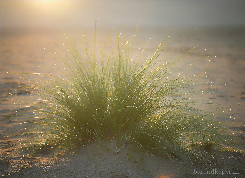 marram grass with backlight