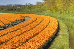 orange tulips with horse