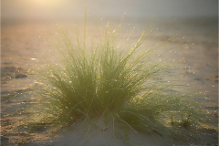 marram grass with backlight